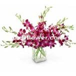 Violet Dendrobium Orchids