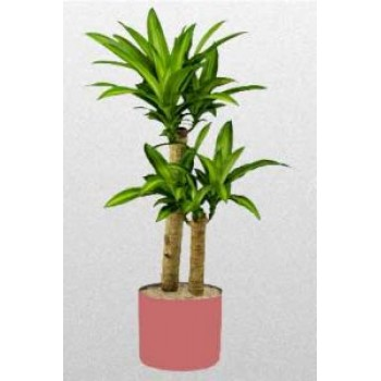 Potted Massangeana Plant - by Dxb Flower