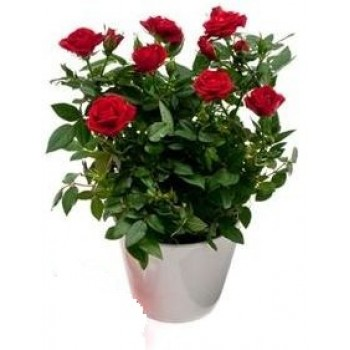 Rose Plant - by Dxb Flower