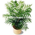 Poted Palm Plant
