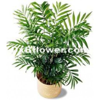 Poted Palm Plant - by Dxb Flower