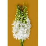 Dendrobium Orchids Wholesale